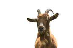 Haired goat on white background closeup Stock Photography