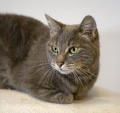 haired huskortslutning för katt Royaltyfria Foton