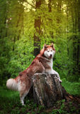 Haired husky dog breed from the old stump Stock Image