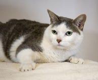 haired kortslutning för amerikansk katt Arkivbilder