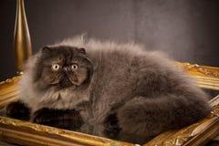 haired lång perser för katt fotografering för bildbyråer