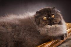 haired lång perser för katt arkivbilder