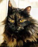 haired långt för katt Arkivfoton