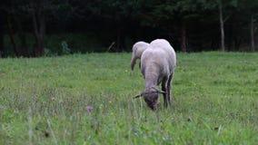 Haired sheeps för Katahdin kortslutning, tackor som betar på äng stock video