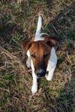 haired slät terrier för räv Royaltyfri Bild