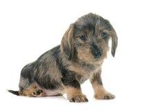 Haired Tekkel van de Draad van het puppy stock foto's