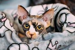 Hairess Sphynx Cat Kitten Snugly Wrapped In en filt arkivfoton
