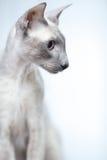 Hairless Cat Stock Image