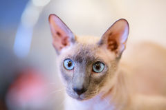 Hairless Cat Stock Photos