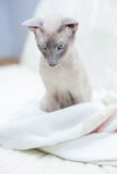 Hairless Cat Royalty Free Stock Images
