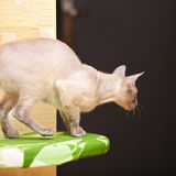 Hairless Cat Stock Image