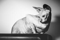 Hairless cat Royalty Free Stock Photo