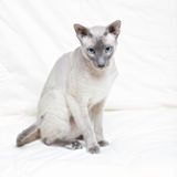 Hairless Cat Stock Photos
