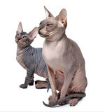 Hairless cat family Stock Photography