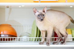 Hairless Cat. Hairless oriental cat, peterbald, on dish drainer shelf Stock Photo