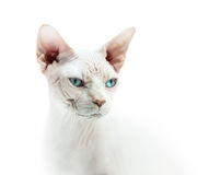 Hairless cat sphinx portrait Royalty Free Stock Photography