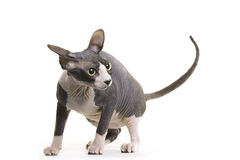 Hairless Cat, Sphynx Royalty Free Stock Photography