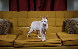 Hairless cat standing on a couch Royalty Free Stock Photo