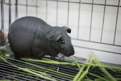 Hairless Cavy is eating the food. Hairless Cavy is eating the food in a steel cage Royalty Free Stock Photo