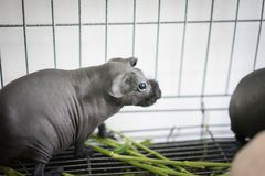 Hairless Cavy is eating the food. Hairless Cavy is eating the food in a steel cage Royalty Free Stock Photos