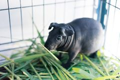 Hairless Cavy is eating the food. Hairless Cavy is eating the food in a steel cage Stock Image