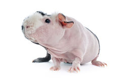 Hairless Cavy Guinea Pig Royalty Free Stock Images