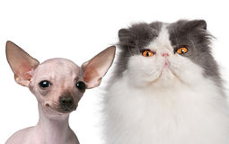 Hairless Chihuahua, 5 months old and a Persian Royalty Free Stock Photo