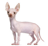 Hairless Chihuahua, 5 months old, standing Stock Images
