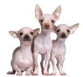 Hairless Chihuahuas, 5 and 7 months old Stock Photography