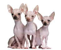 Hairless Chihuahuas, 5 and 7 months old Royalty Free Stock Images