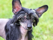 Hairless Chinese Crested Dog with black hair Royalty Free Stock Images