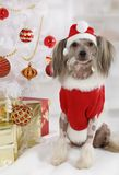 Hairless Chinese Crested dog dressed in a Christmas costume. On the background of Christmas tree royalty free stock photos
