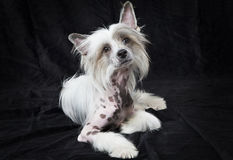 Hairless Chinese Crested dog in front of black background Stock Images