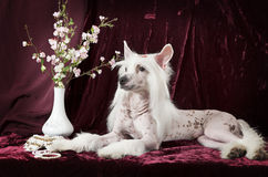 Hairless Chinese Crested dog in front of purple background Stock Photo