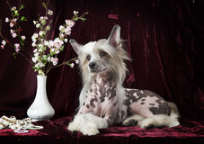Hairless Chinese Crested dog in front of vinous background Stock Photos