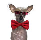 Hairless Chinese crested dog wearing glasses and a bow tie Stock Photo