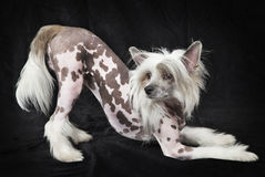 Hairless Chinese Crested dog, 1,5 years old Royalty Free Stock Images