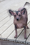 Hairless Chinese Crested Stock Image