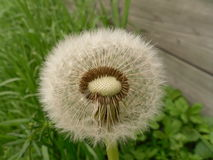 Hairless Dandelion. A bald and hairless dandelion showing that some seeds were taken by the wind to reproduce and grow Stock Photo