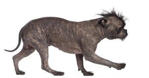 Hairless dog, mix between French bulldog Stock Images