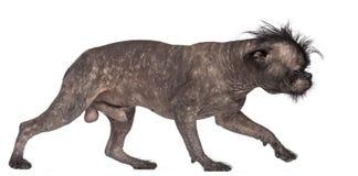 Hairless dog, mix between French bulldog Royalty Free Stock Photography