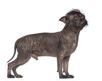 Hairless dog, mix between French bulldog Royalty Free Stock Images