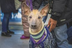 Hairless Dog Xoloitzcuintle on winter street. Naked Mexican dog Xoloitzcuintle in winter warm overalls clothes. royalty free stock photography