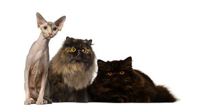Hairless and furry cats staring Stock Photos