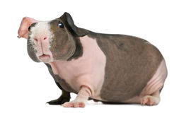 Hairless Guinea Pig Royalty Free Stock Images