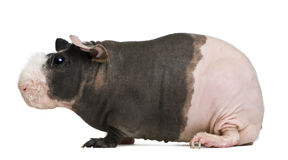 Hairless Guinea Pig Stock Image