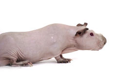 Hairless guinea pig Royalty Free Stock Photography