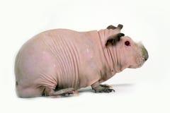 Hairless guinea pig Royalty Free Stock Photo