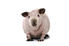 Hairless guinea pig Stock Photography