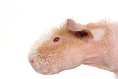 Hairless guinea pig Stock Photos